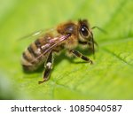 bee on a green leaf in nature....   Shutterstock . vector #1085040587
