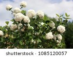 Small photo of White flowers of guelder rose decorative. Beautifully blossoming guelder-rose bush horizontally against the background of the blue sky with white clouds. Viburnum opulus Roseum. Adoxaceae Family.
