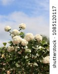 Small photo of White flowers of guelder rose decorative. Beautifully blossoming guelder-rose bush vertically against the background of the blue sky with white clouds. Viburnum opulus Roseum. Adoxaceae Family.