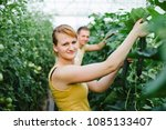 farmers picking cucumbers in a... | Shutterstock . vector #1085133407