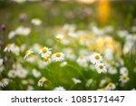 selective focus daisy flowers   ...   Shutterstock . vector #1085171447