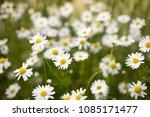 beautiful daisy flower in the...   Shutterstock . vector #1085171477