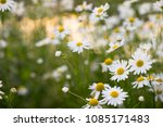 camomile flowers on green...   Shutterstock . vector #1085171483