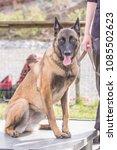 Small photo of Belgian Shepherd Dog Malinois in Belgium