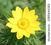 Small photo of Yellow flower of spring pheasant's eye (Adonis vernalis) on green background