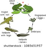 life cycle of frog. sequence of ... | Shutterstock .eps vector #1085651957