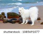 white dog samoyed walks near... | Shutterstock . vector #1085691077