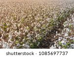 rows of cotton fields ready for ... | Shutterstock . vector #1085697737