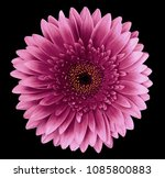 pink gerbera flower on the... | Shutterstock . vector #1085800883