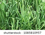 close up of exotic plant.... | Shutterstock . vector #1085810957