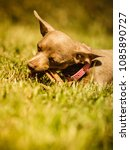 Small photo of Little pinscher ratter prazsky krysarik crossbreed small dog playing outside on grass during summer spring weather
