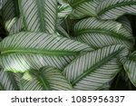 green and white striped foliage ... | Shutterstock . vector #1085956337