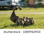 Duckling With Duck In The...