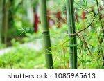 bamboo trees in garden | Shutterstock . vector #1085965613