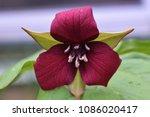 Small photo of Purple Trillium Flower