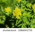close up macro of marsh spurge...   Shutterstock . vector #1086041753