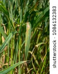Small photo of Wheat Plants in the Field Infected by Septoria blotch. Macro.