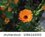 orange flower of calendula...   Shutterstock . vector #1086163343