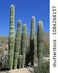 Small photo of Group of saguaro cacti