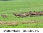 Herd Of Deer Stag With Growing...