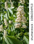 Small photo of white flowers of a horse chestnut tree (Aesculus hippocastanum) in the green foliage, vertical, selected focus, narrow depth of field