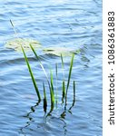 Small photo of Wild swimming , Young acorus and aquatic vegetation, water plants
