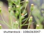 charidotella sexpunctata on... | Shutterstock . vector #1086363047