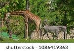 giraffe  giraffa camelopardalis ...   Shutterstock . vector #1086419363