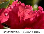 macro shot of the blooming red... | Shutterstock . vector #1086461087