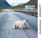 Sheep Resting On Road In Norway