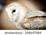 Barn Owl ready to fly - stock photo