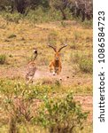 Small photo of Photo series: Cheetah hunting for big Impala. The ninth episode. Masai Mara, Kenya