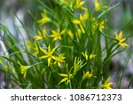 gagea flowers bunch | Shutterstock . vector #1086712373