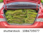 green grass sods in the trunk... | Shutterstock . vector #1086735077