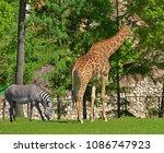 giraffe  giraffa camelopardalis ...   Shutterstock . vector #1086747923