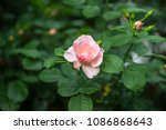 beautiful pink rose ... | Shutterstock . vector #1086868643