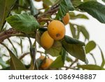 Small photo of Medlars on medlar tree
