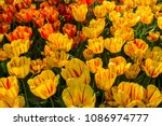 tulip flower. beautiful bouquet ... | Shutterstock . vector #1086974777