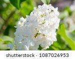 lilac. lilac flowers close up....   Shutterstock . vector #1087026953