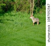 Small photo of Lone coyote stalking prey near tall bright green grasses in bright sunlight.