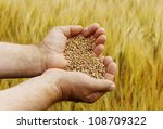 Hand with seeds and wheat land. - stock photo