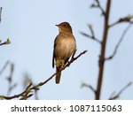 thrush nightingale  luscinia... | Shutterstock . vector #1087115063
