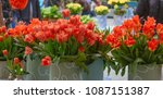 beautiful blooming tulips in... | Shutterstock . vector #1087151387