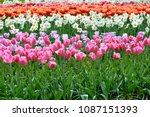 beautiful blooming tulips in... | Shutterstock . vector #1087151393