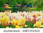 beautiful blooming tulips in... | Shutterstock . vector #1087151423