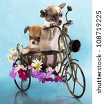 The puppy chihuahua on a bicycle in studio - stock photo