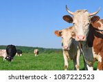cows  on a summer pasture | Shutterstock . vector #1087222523