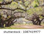 chinese plum tree  blooming... | Shutterstock . vector #1087419977