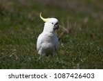 "Small photo of Sulphur-Crested Cockatoo, found throughout Australia, Commonly referred to as a ""White Cocky"""
