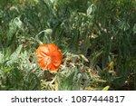 poppy bud. unopened bud of... | Shutterstock . vector #1087444817